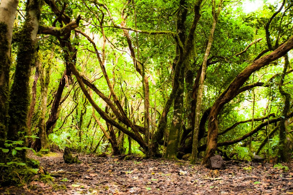 Rainforest in Garajonay National Park,, La Gomera, Canary islands